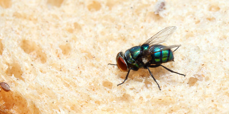 Fly on a piece of bread